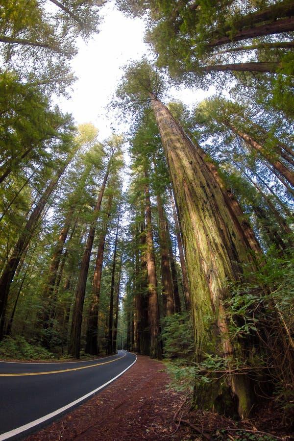 Redwood lasu autostrada obraz royalty free