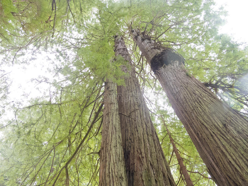 Redwood National and State Parks California CA USA. Giant Redwood tress, Sequoia sempervirens, in Redwood National and State Parks Northern California, CA, USA royalty free stock image