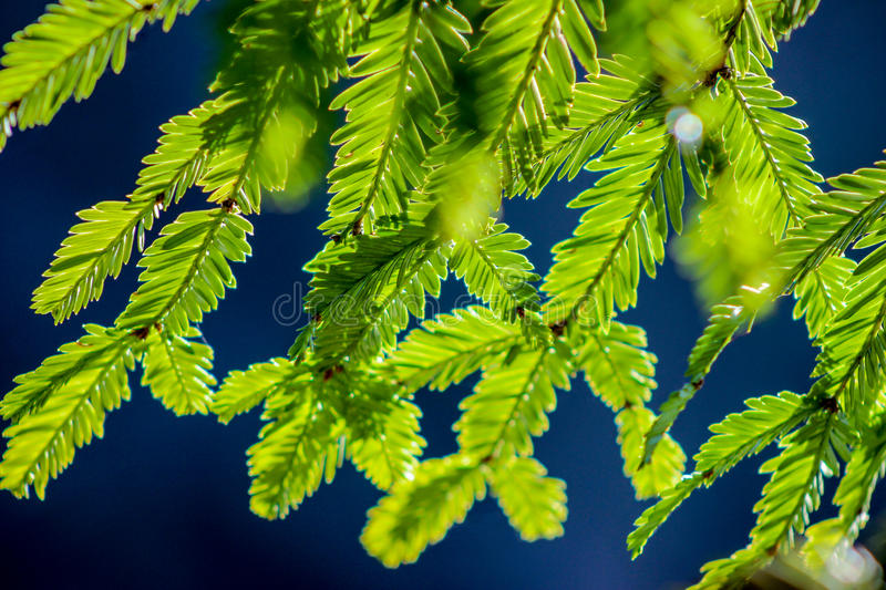 Redwood needles in the sun. Redwood tree (Sequoia sempervirens) needles in the light royalty free stock photos