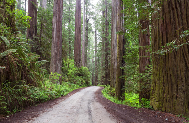 Redwood NP Калифорния стоковое фото