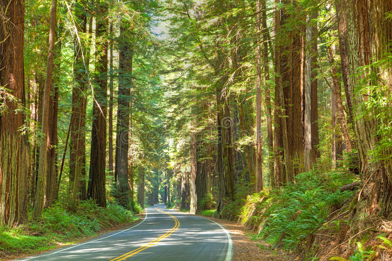 Redwood Tree royalty free stock photos