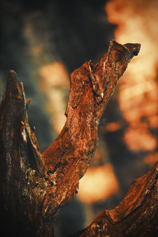 Redwood tree Lyme Park Disley, Peak District National Park Cheshire England.  stock photo