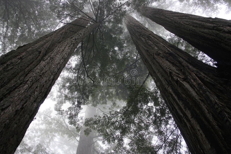 Download Redwood trees-1 stock photo. Image of cool, background - 25872326