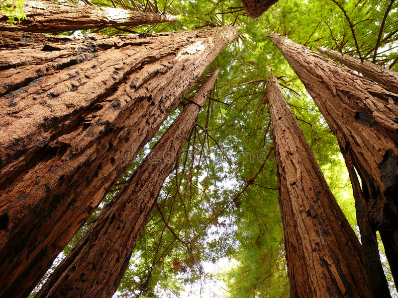 Redwood trees. A few giant redwood trees pointing to the sky. Big Basin state park California royalty free stock photo