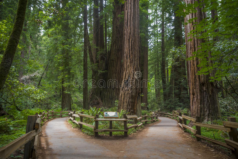 Redwood trees. A fork in the path to Cathedral Grove in Muir Woods National Monument, an area with some of the tallest and oldest redwood trees in the forest ( stock photos