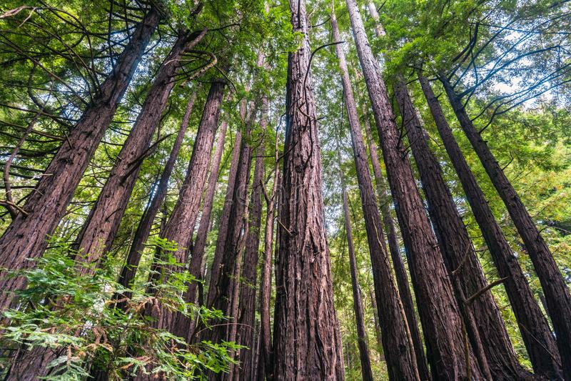 Redwood trees Sequoia sempervirens forest, California. Redwood trees Sequoia sempervirens forest, San Francisco bay area, California royalty free stock image