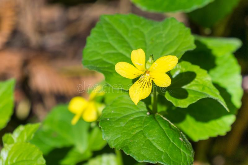 Redwood violet Viola sempervirens wildflower on a sunny day, California royalty free stock photos