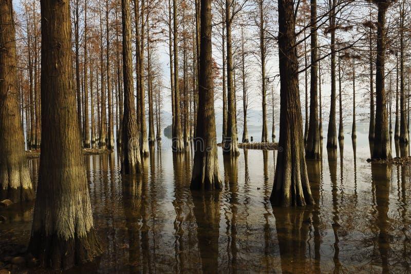 Redwoods в shallows стоковая фотография