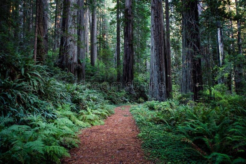 Redwoods Калифорнии стоковые изображения