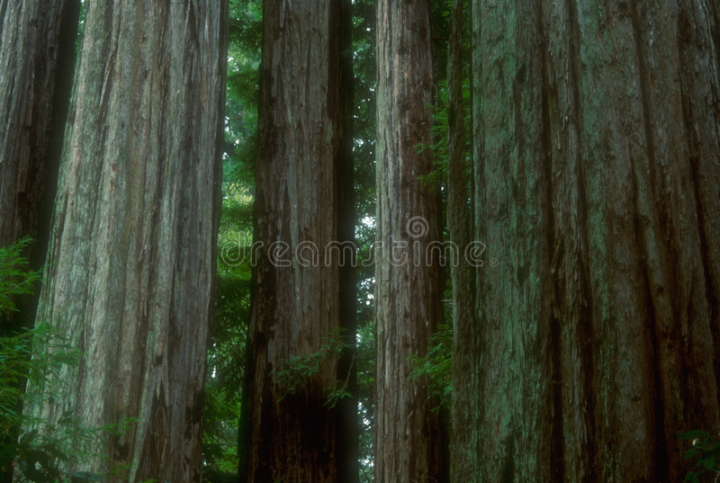 Redwoods 02 fotografia de stock