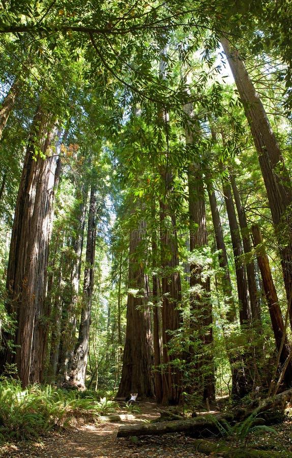 Redwoods imagens de stock