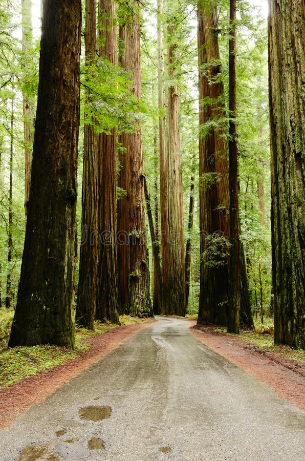 redwoods obrazy royalty free