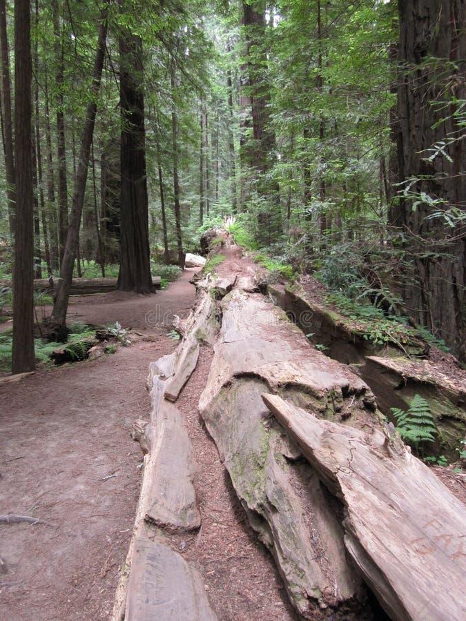 redwoods fotografia de stock royalty free