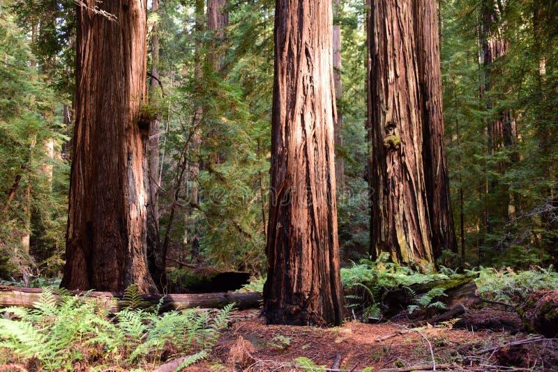 redwoods fotografia stock
