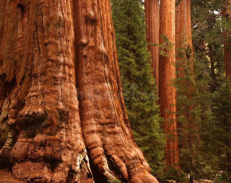 Redwoods. The General Sherman tree is the largest tree in the world. It rests quite heavily in Kings Canyon National Park in California