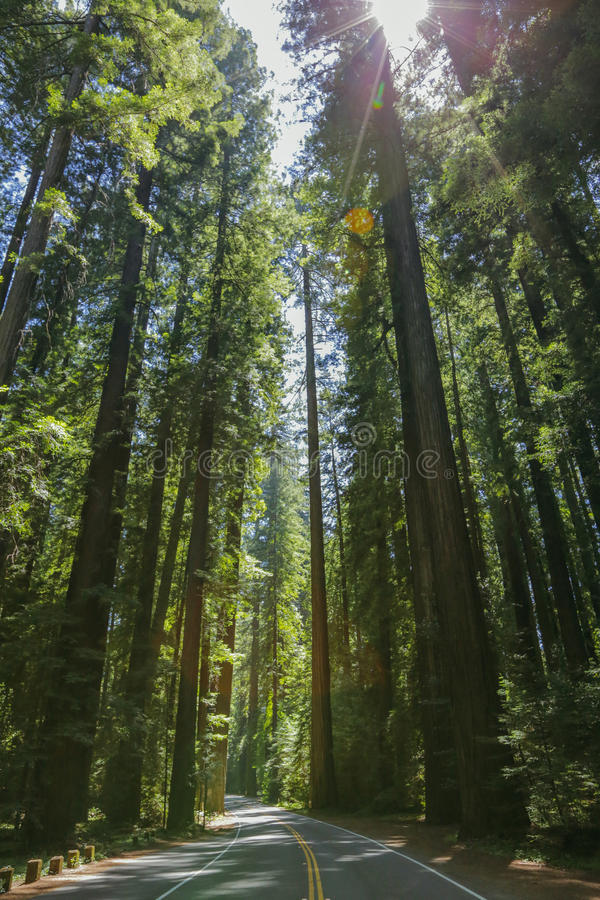 Redwoods on the Avenue of the Giants stock images