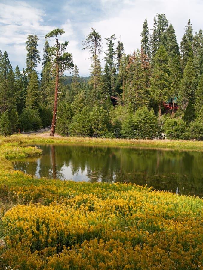 Redwoods do bosque de Mariposa imagem de stock