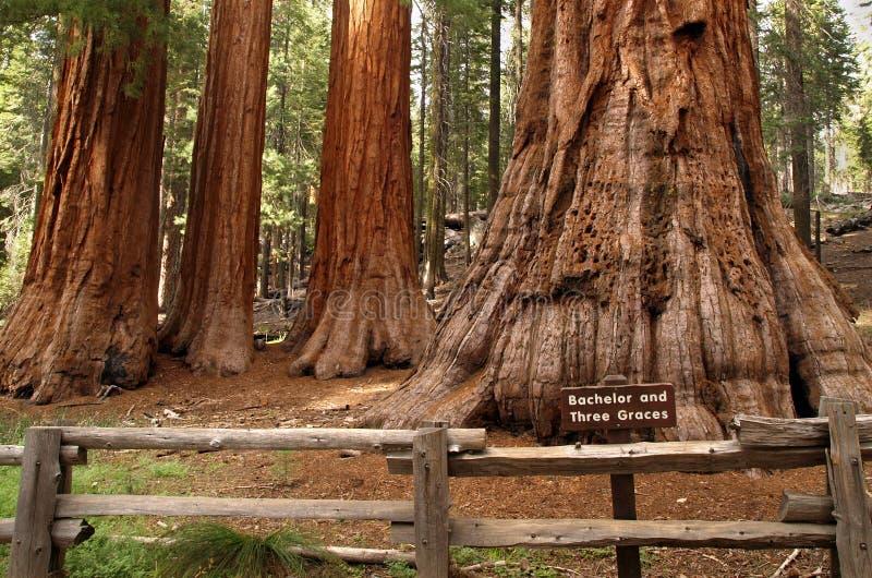 Redwoods do bosque de Mariposa fotografia de stock royalty free