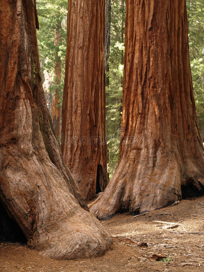 Redwoods do bosque de Mariposa fotos de stock