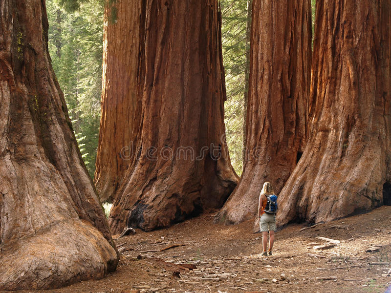 Redwoods do bosque de Mariposa foto de stock