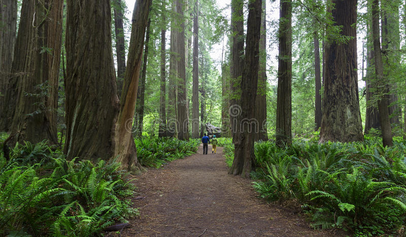 Redwoods, Kalifornia fotografia royalty free