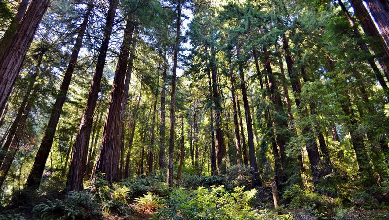 Redwoods in Muir Woods. Redwood forest in San Francisco's Muir Woods National Park royalty free stock images