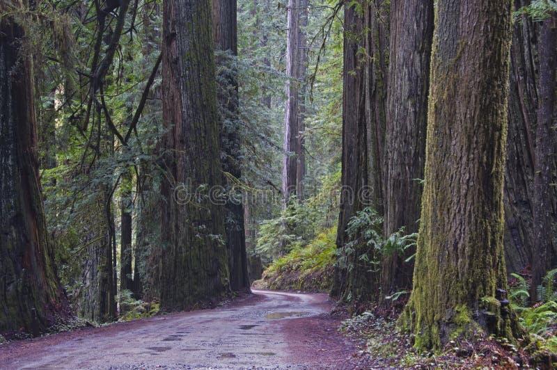 Redwoods, parque nacional do Redwood. fotos de stock