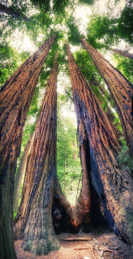 Redwoods trees in the national park in California royalty free stock image