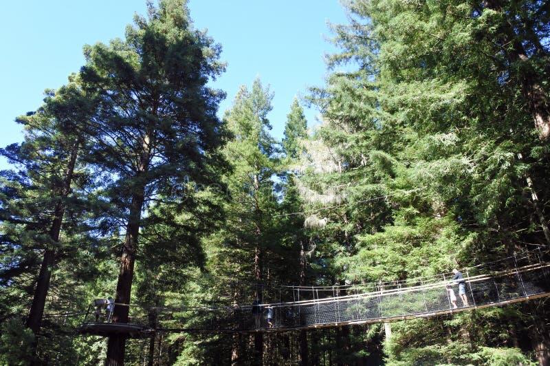 Redwoods Treewalk на гигантских лесах Новой Зеландии redwood стоковые изображения
