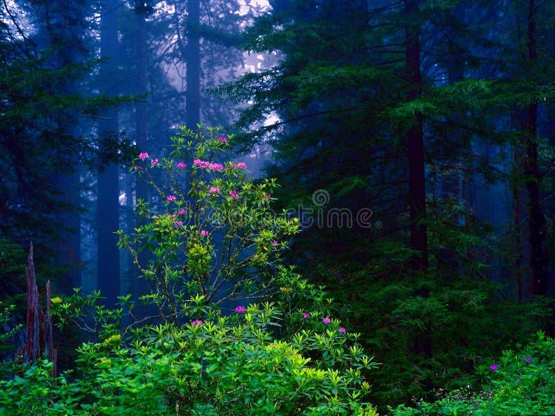 redwoodträd arkivbilder