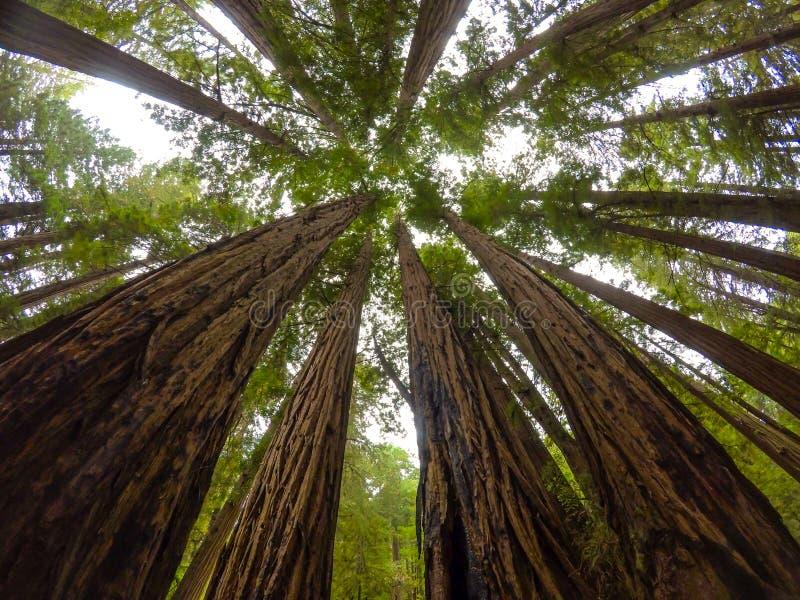 Redwoodträd av Muir trän arkivbild