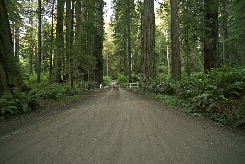 Redwoodträd Forest Road royaltyfria bilder