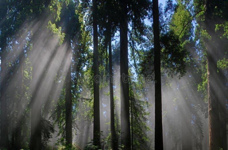 Redwoodträd i dimman fotografering för bildbyråer
