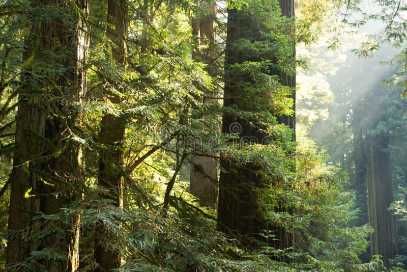 Redwoodträd på brand arkivbilder