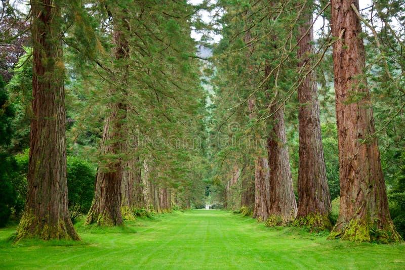 Download Redwoodträdaveny arkivfoto. Bild av lane, green, sommar - 27287530
