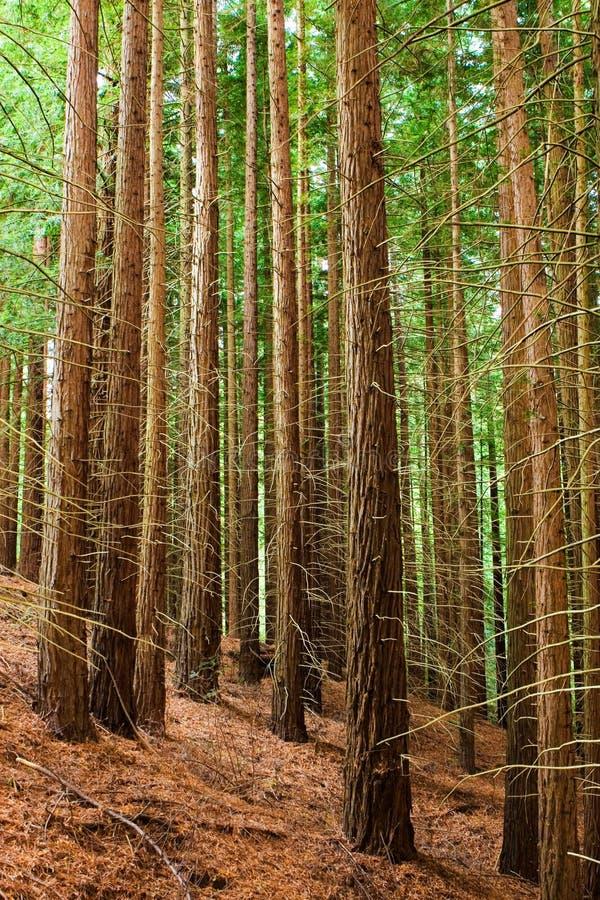 Redwoodträdskog arkivfoton