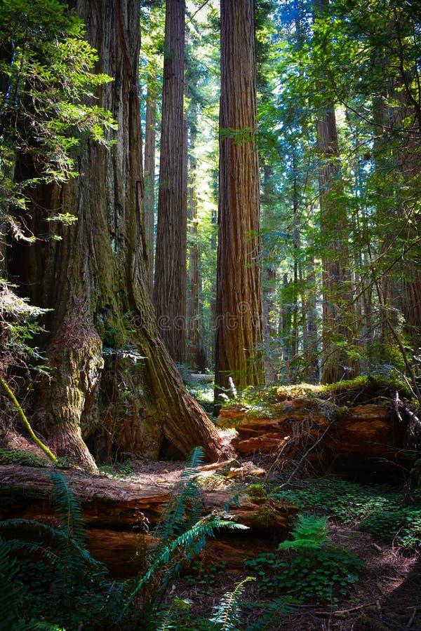 Redwoodträdskog nära Crescent City, Kalifornien royaltyfria foton