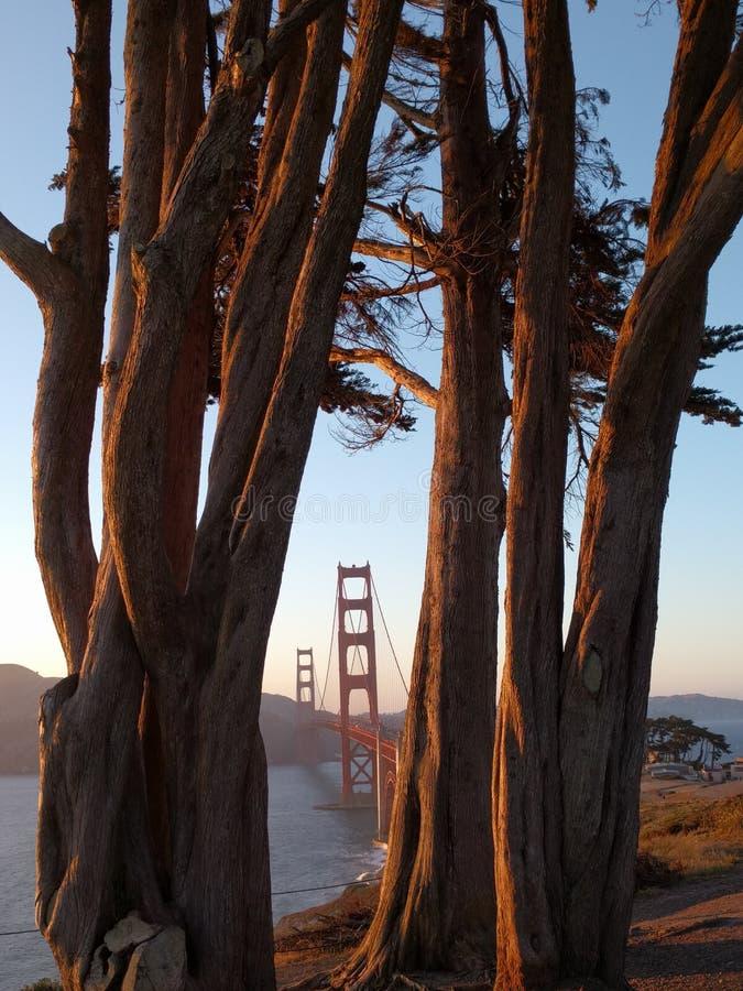 Redwoodträdträd GoldenGate bro arkivfoton