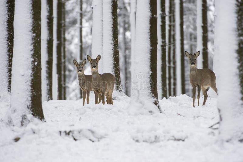 Reeën in de sneeuw tijdens de winter stock fotografie