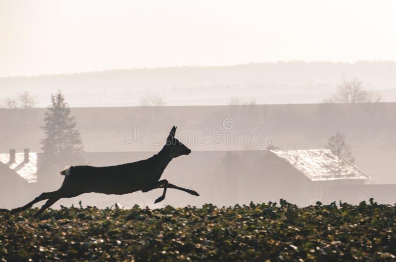 Reeën die en in het nevelige gebied met dorp en bomen op achtergrond op zonsondergang lopen springen Gealarmeerde Damhinde snelle royalty-vrije stock afbeelding