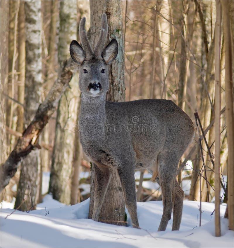 Reeën mannelijke tribunes tussen bomen in de winterbos stock afbeeldingen