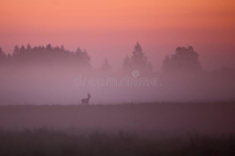 Reeën van het het landschapsverstand van de de vroege zomerochtend de mistige stock foto