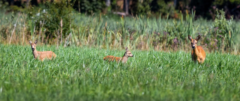 Reeëndamhinde met fawn op groen gebied in de zomer stock foto's