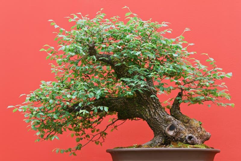 ree бонзаев лиственное стоковая фотография