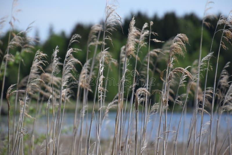 Reed à un lac images stock