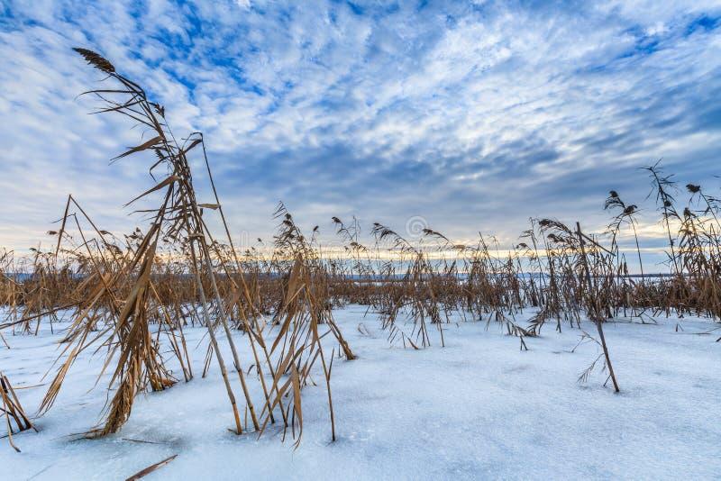 Download Reed в зиме стоковое фото. изображение насчитывающей холодно - 33729316
