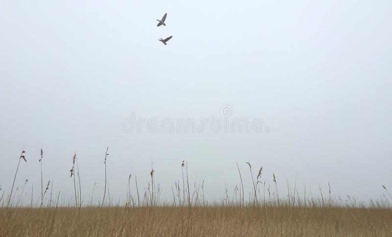 Reed голландского ландшафта польдера на пасмурный день с 2 птицами в неб стоковое изображение