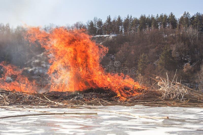 Reed горящий бедствие естественный Таиланд засушливого климата весна пламени brushfire близкая вверх стоковая фотография