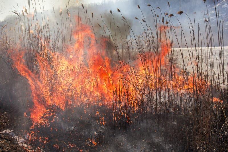 Reed горящий бедствие естественный Таиланд засушливого климата весна пламени brushfire близкая вверх стоковые изображения