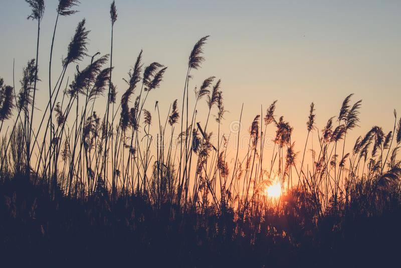 Reed на предпосылке захода солнца стоковые фото